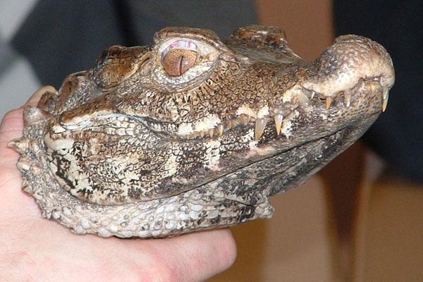 Cat-eyed Crocodile