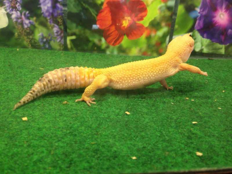 gecko-pix